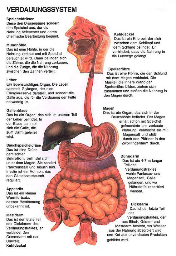 verdauung | Menschliche Körperwelt | Pinterest | Anatomie et ...