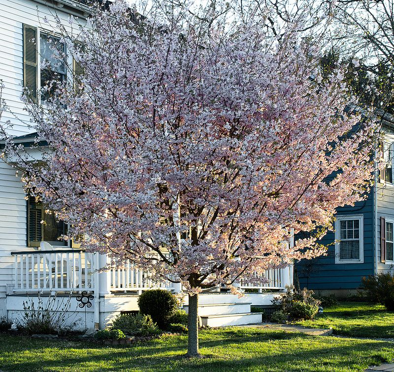 Double Autumn Flowering Cherry Cherry Blossom Tree Flowering Cherry Tree Lawn And Garden