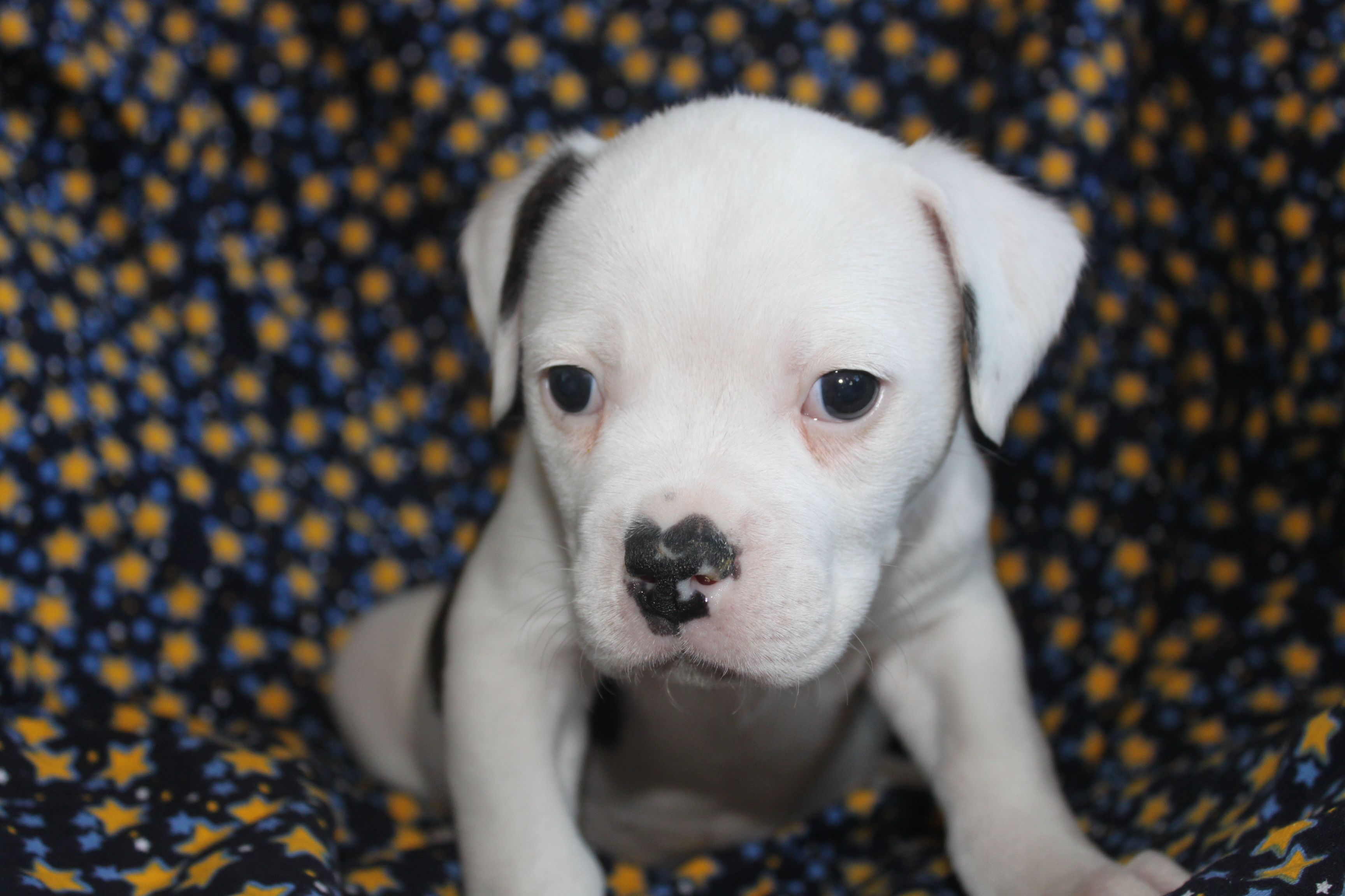 American Bulldog Puppies For Sale In Gap Pa. http//www