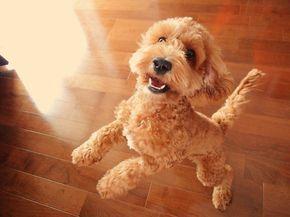 Hunde Allergiker Nicht Haarende Hunderassen Vierbeiner Dog Haustiere Hunderassen Hunde Rassen Mischlingshunde