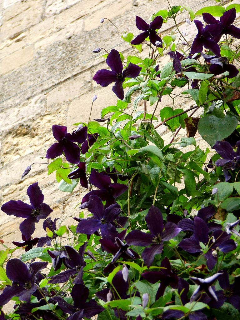 Clematis viticella black prince clematis gothic garden and gardens