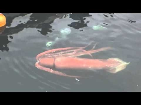 Rare Giant Squid Spotted Swimming Through Toyama Bay In Japan [Video] - They said it didn't exist and until recently that was believed to be the case. This live giant squid was spotted surfacing in a harbor in Japan.