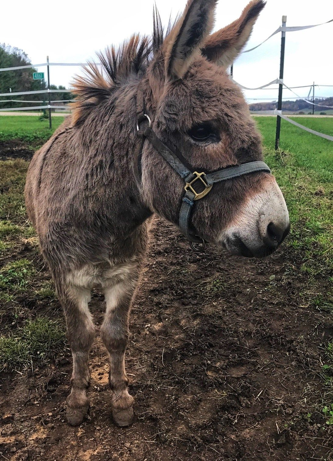 This month, I'm interviewing Lewis, a five-year-old Brazilian Donkey that lives in Black Earth, WI. Lewis is five-year-old Brazilian Donkey that loves to