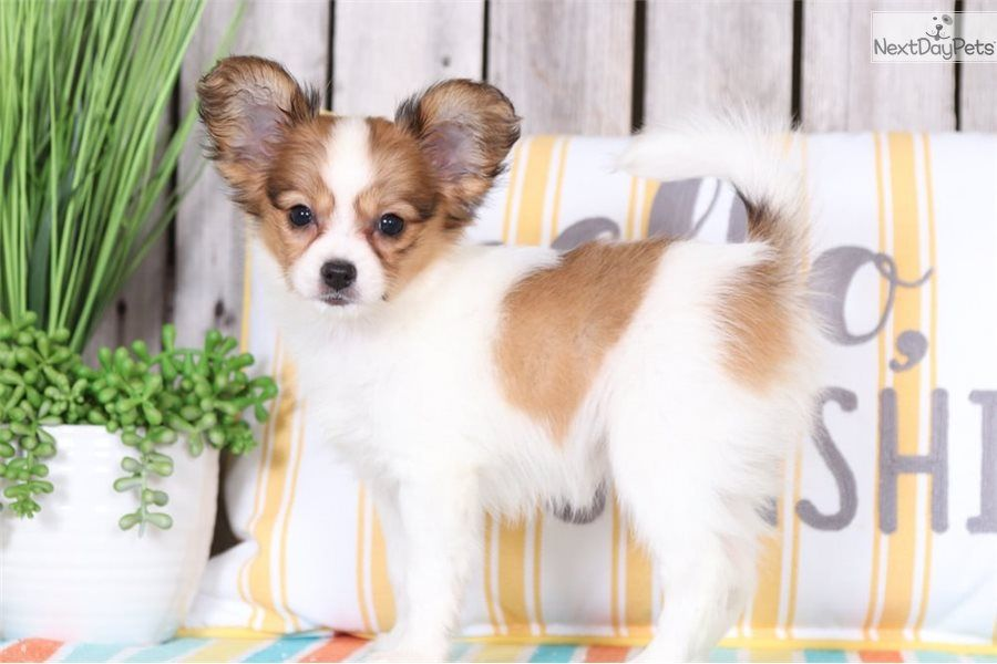 Precious Papillon Puppy For Sale Near Columbus Ohio C62c76ba A571 Papillon Puppies For Sale Papillon Puppy Puppies For Sale