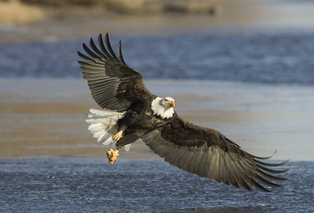 PBS Home Video Eagles - Google Search