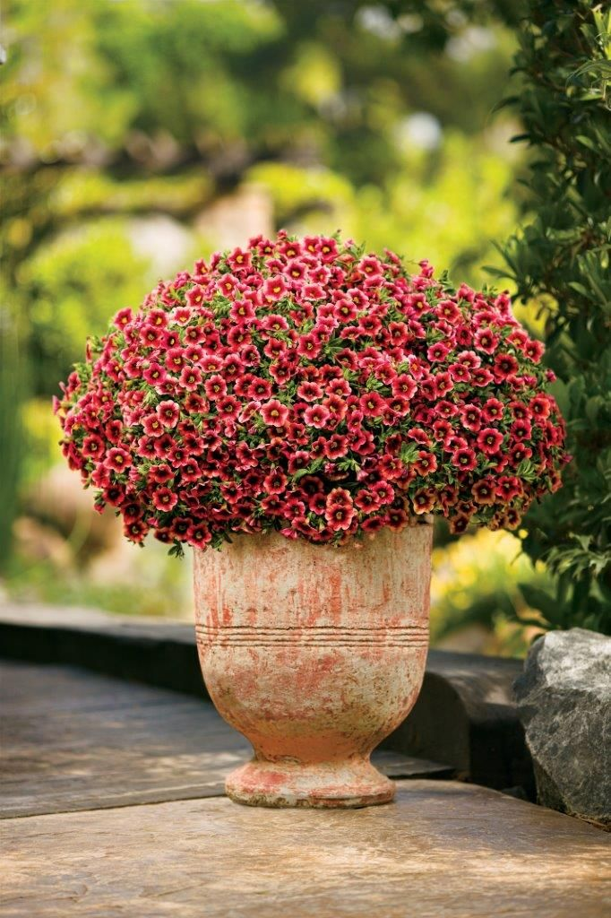 Superbells Coralberry Punch Is An All Season Variety The Dark