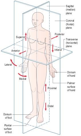 Anatomical position showing the cardinal planes and