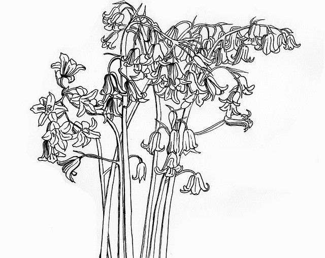 bluebells line drawing by nu scot