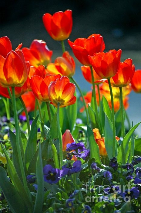 These Are Our Tulips Today >> Red And Yellow Tulips Remind Me Of My Childhood My Mom Grew These
