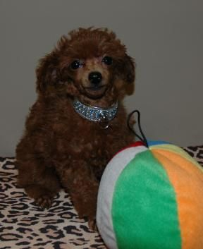 Teacup Poodle Puppies Take A Peek At Some Of Our Past Puppies