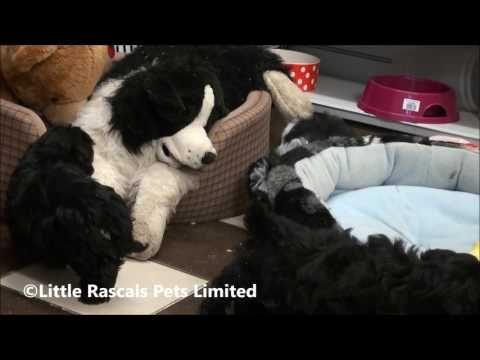 Coming Soon Shih Tzu Puppy Pedigree Puppies For Sale Shih Tzu