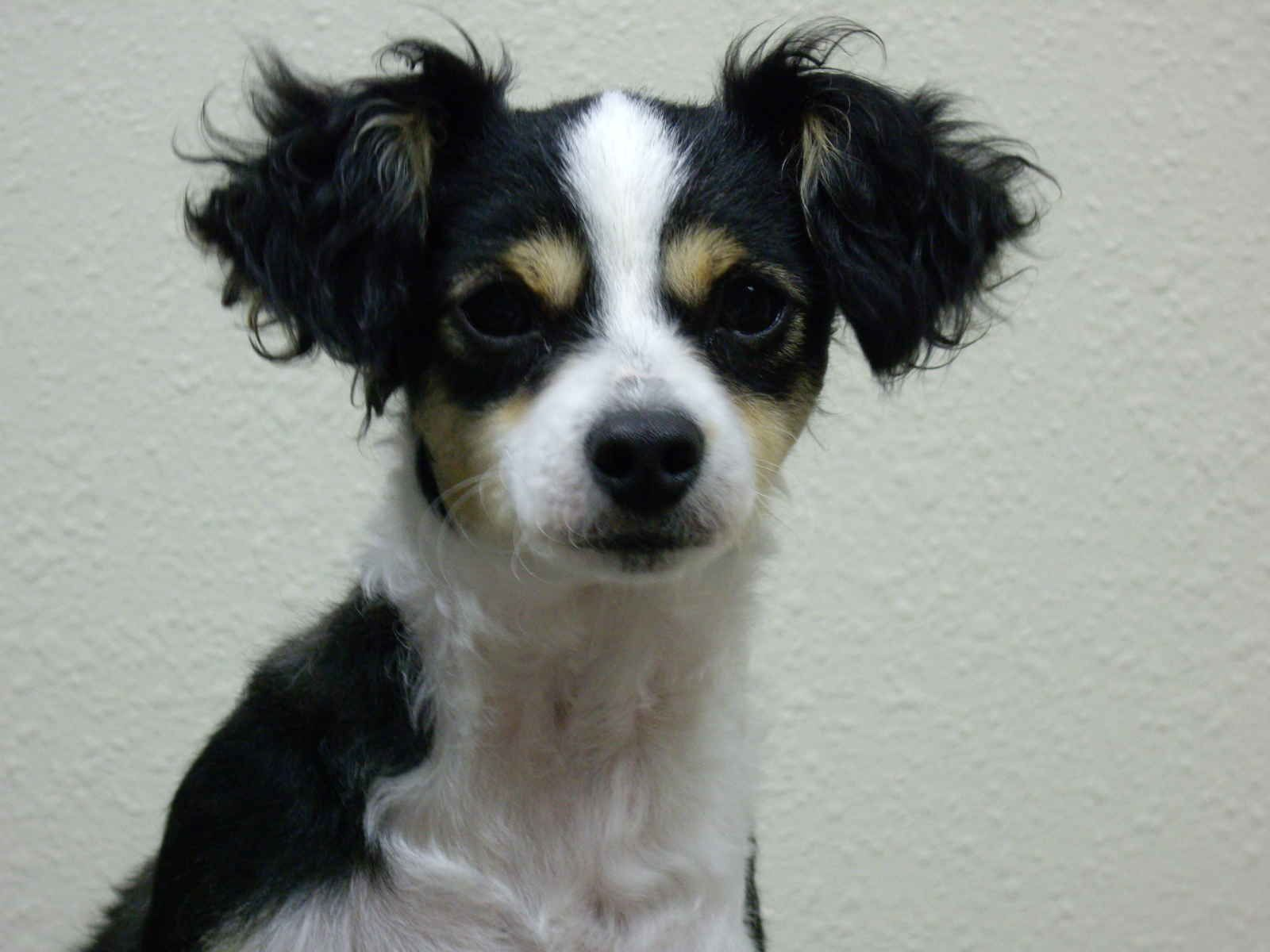 Teacup Poodle Chihuahua Mix Chihuahua Poodle Image Teacup