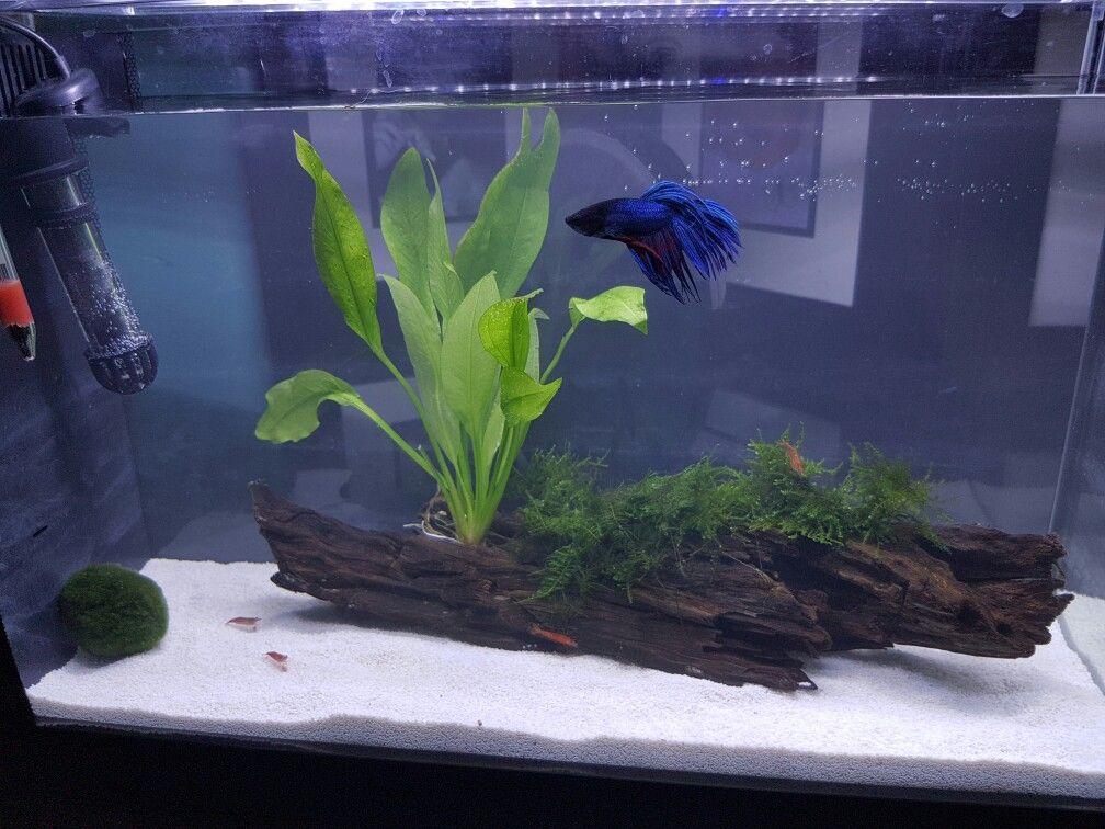 Planted Cherry Shrimp And Betta Tank Fluval Spec 5 Gallon Betta Fish Tank Fish Tank Themes Aquarium Fish Tank