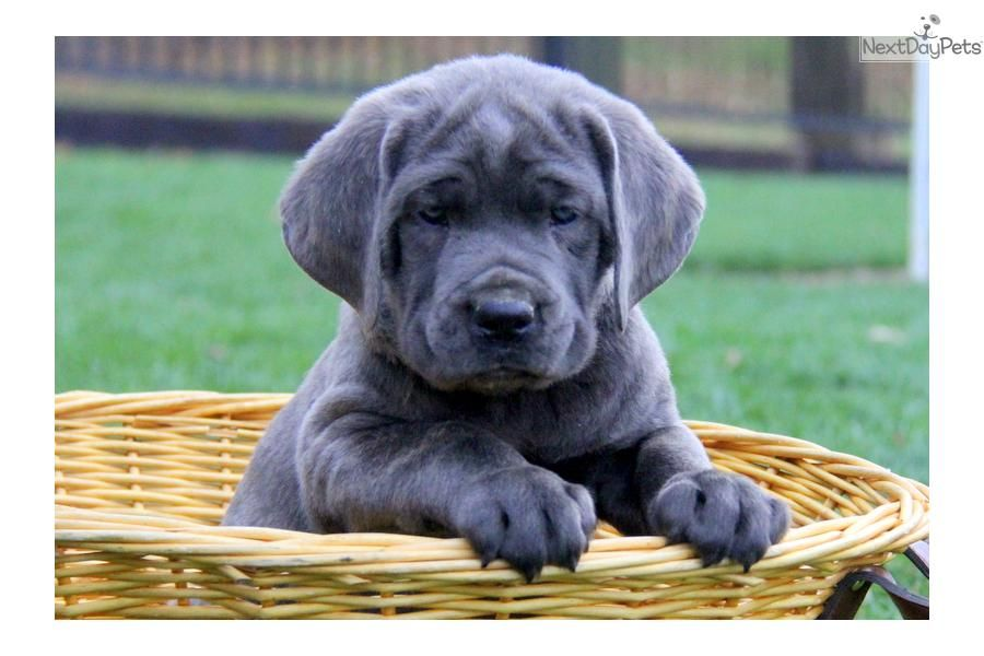 Meet Male A Cute Cane Corso Mastiff Puppy For Sale For 1 000