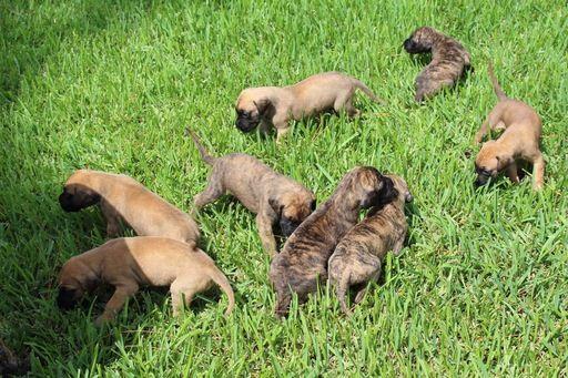 Litter Of 8 Great Dane Puppies For Sale In Loxahatchee Fl Adn