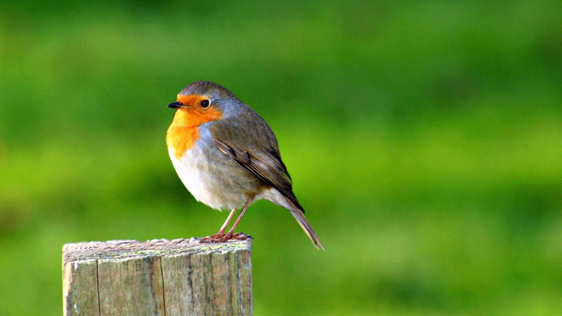 hd wallpaper download | robin bird hd desktop wallpaper | hd desktop