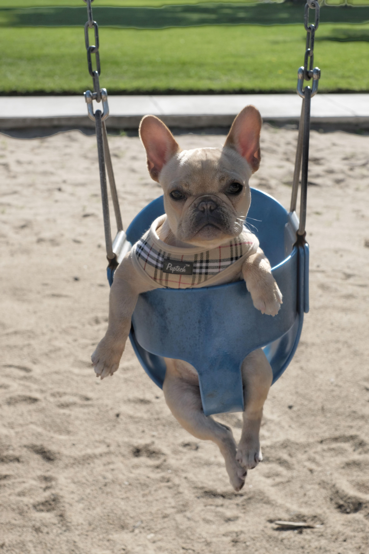 French Bulldog Puppy In A Swing