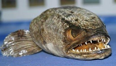 This Is A Snake Fish They Live In Fresh Water They Travel Between Ponds And Lakes By Slithering On Land Like Dangerous Fish Deep Sea Creatures Snakehead Fish
