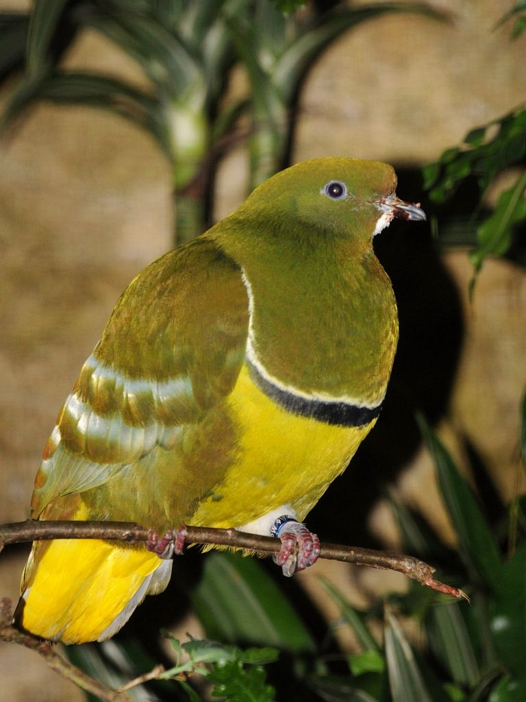 Drepanoptila holosericea - Spaltschwingentaube - Cloven-feathered dove | by Kowari