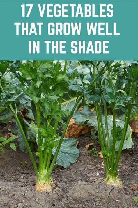 17 Vegetables That Grow Well In The Shade is part of Vegetable garden diy, Vegetable garden, Veg garden, Plants, Shade garden, Organic vegetable garden - Most vegetables are highlight plants because they have to produce food  Sunlight is what helps them in food production process or photosynthesis  Unless they get sufficient time in the sun, they cannot make enough food