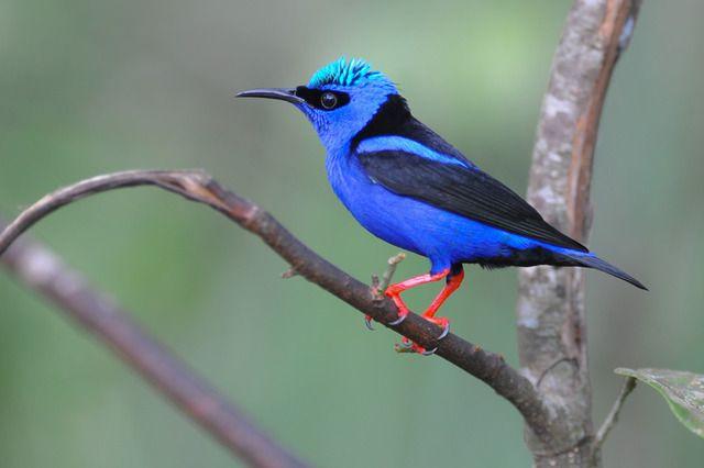 Foto saíra-beija-flor (Cyanerpes cyaneus) por Joao Quental   Wiki Aves - A Enciclopédia das Aves do Brasil