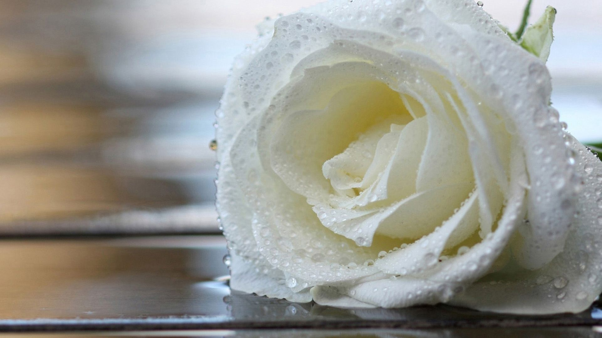 Most Beautiful White Rose High Quality Desktop Image Hd Blue Roses Wallpaper Rose Wallpaper Nature Wallpaper Rose