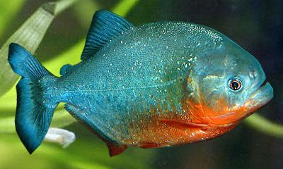 Red bellied piranha ornametal fish pinterest for Piranha fish finder