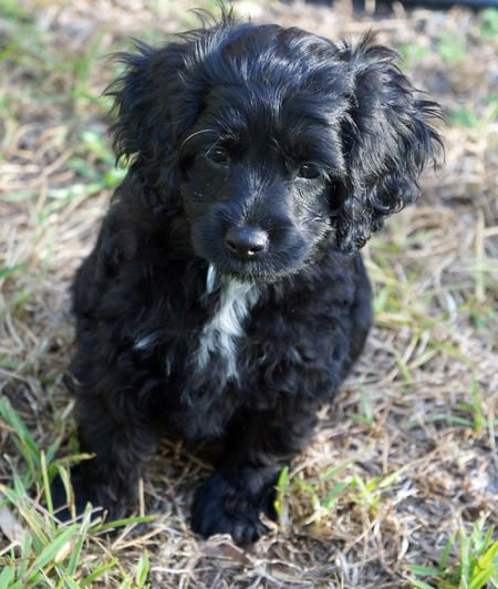 Daisy The Cockapoo Puppy Very Sweet Cockapoo Puppies Black