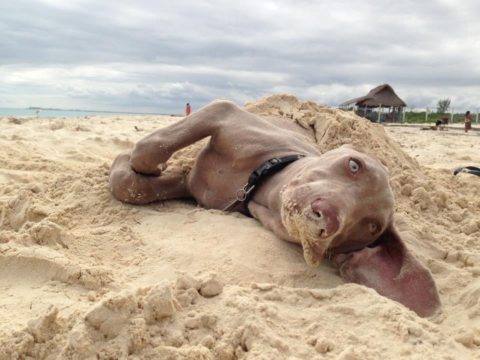 Resultado de imagen para weimaraner beach