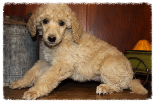 Standard Poodle Breeder Located In Idaho Raising Akc