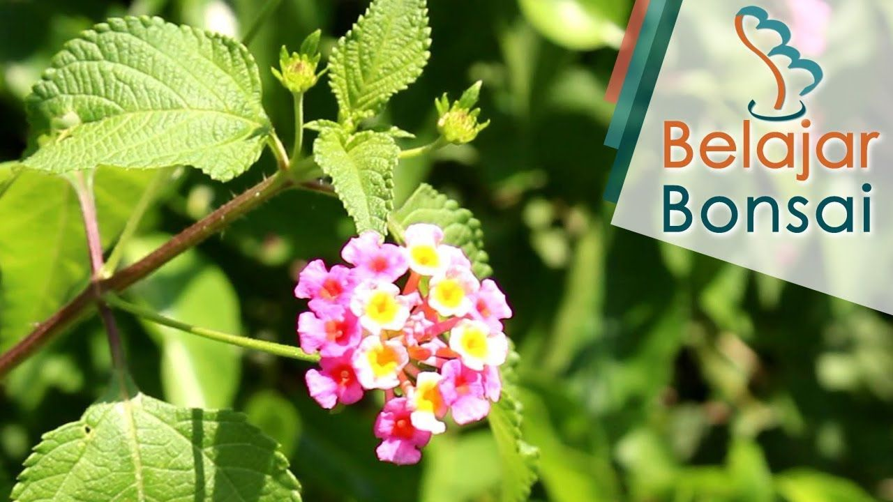 Mengenal Bahan Bonsai Lantana Di Alam Liar Tembelekan Bonsai Alam