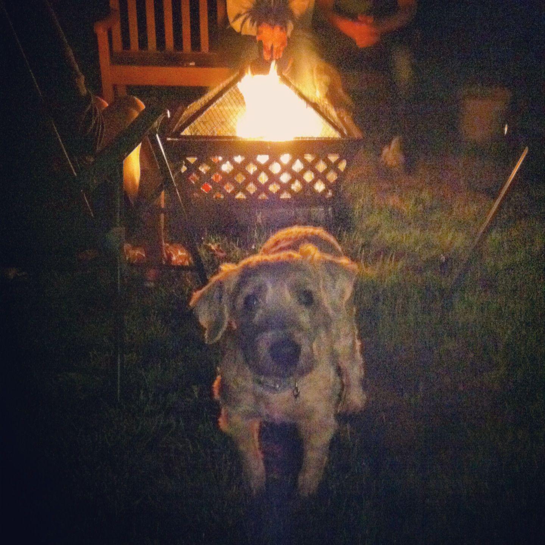 My wheatie sweetie enjoying a camp fire!