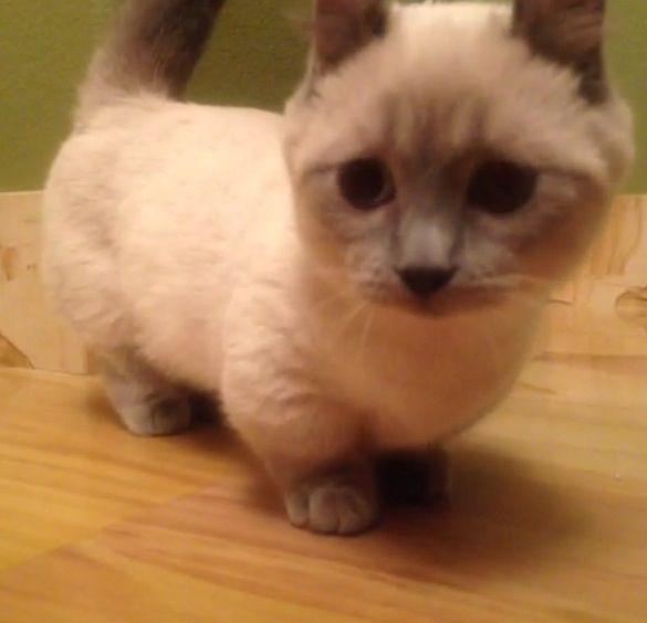 Midget cat pictures