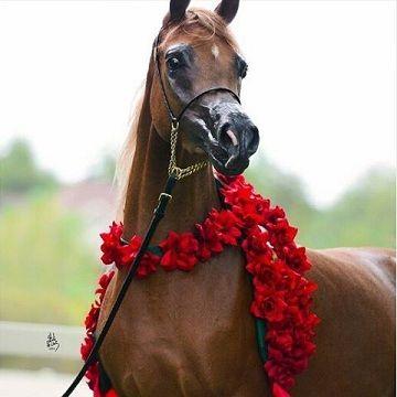 صور خيول بنية رمزيات حصان بني اخبار العراق Horses Arabian Horse Show Horses