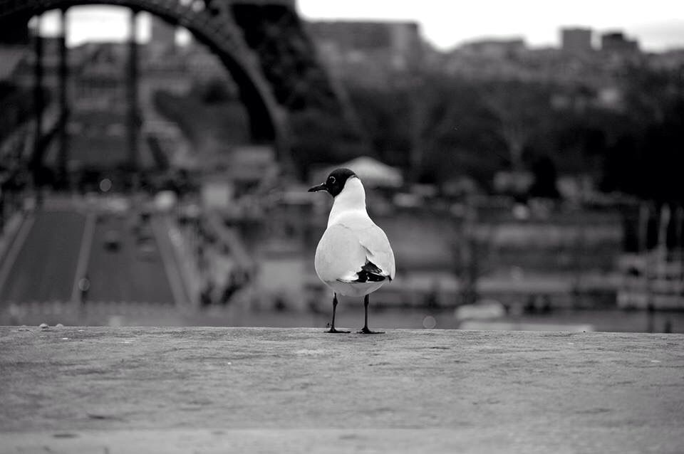 Seagull watching the Tour Eiffel,Paris