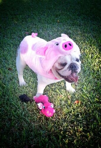 Bulldog In Pig Halloween Costume So Cute Bulldog Halloween