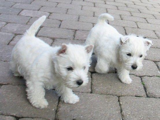 Terriers Dog Dog Westie Puppies Terrier Puppies Terrier Dogs
