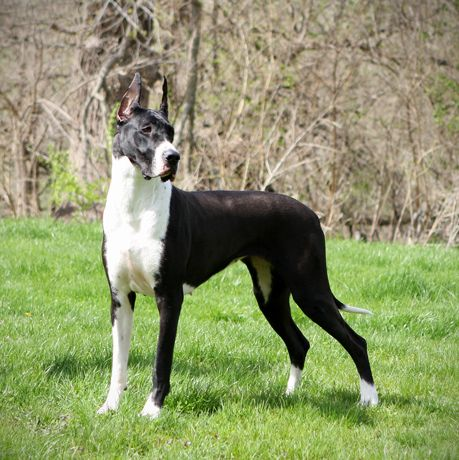 Mantle Great Dane Flighty Foto Absolut Cgc Great Dane Breeders