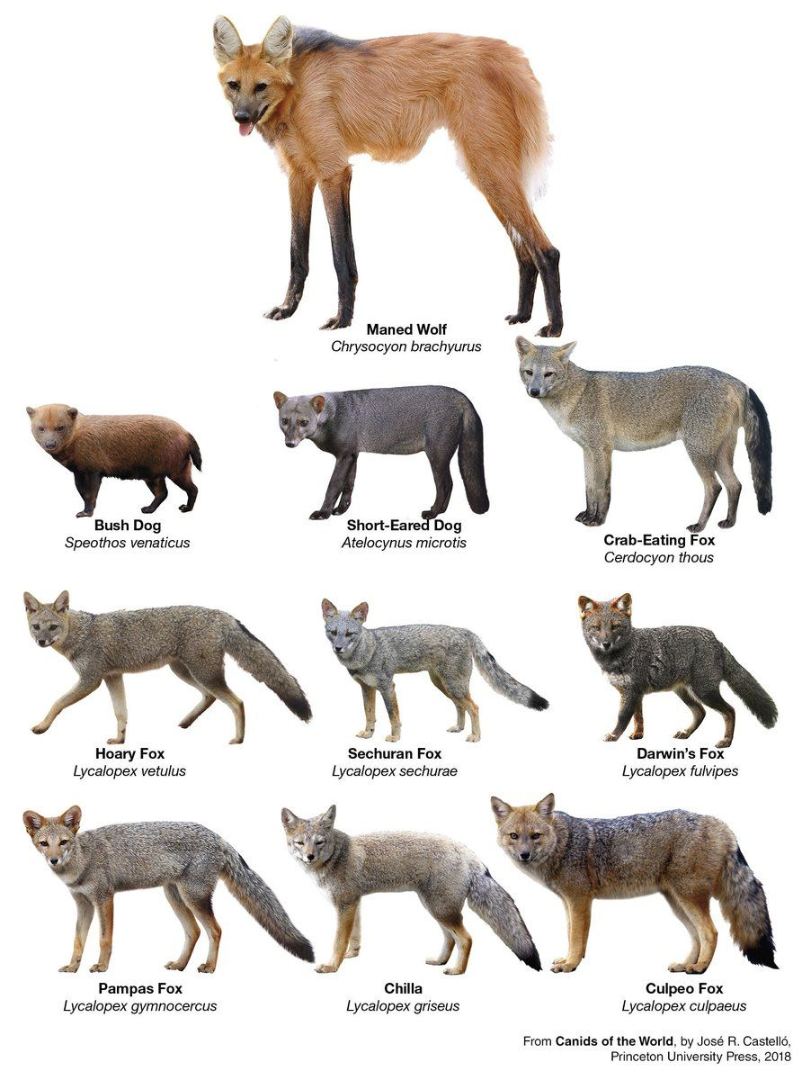 Dr. Jose R. Castello on Twitter | Wild dogs, Animals wild, Interesting  animals