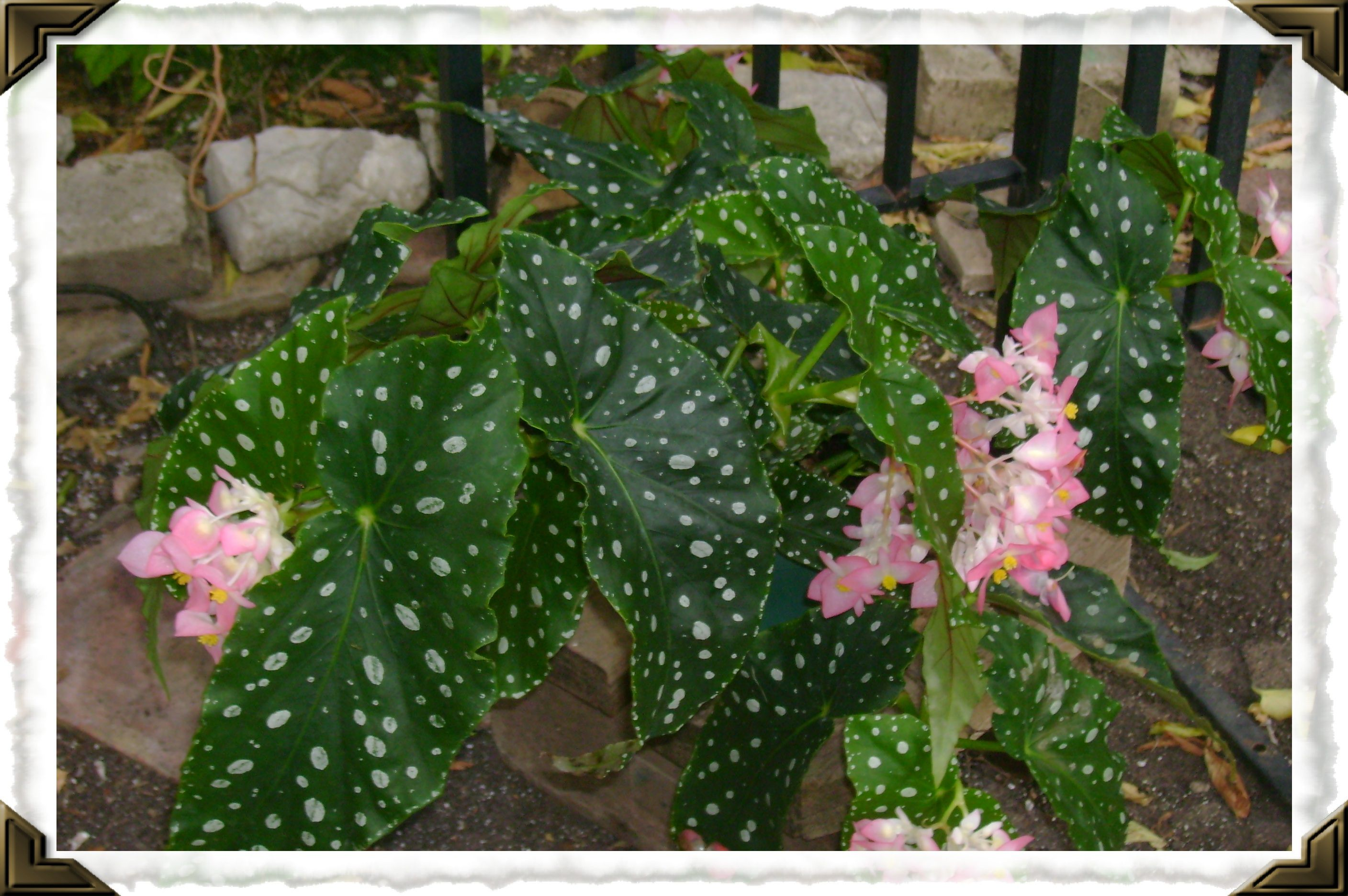 Angel Wing Begonia In Bloom How To Grow Care Https Www