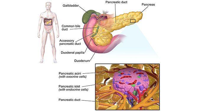 """Vasten-imiterend dieet regenereert """"suikerzieke"""" alvleesklier"""