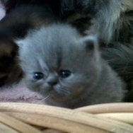 Lovely Pedigree Persian kittens for sale Check out this link for details http://www.junkmail.co.za/v-johannesburg-pets-for-sale-cats-lovely-cfsa-registered-persian-kittens-for-QZQYCatQX0083QYRgnQX0001QYAdQXF12382QYEdQX201219 #Cats #Kittens #Persian