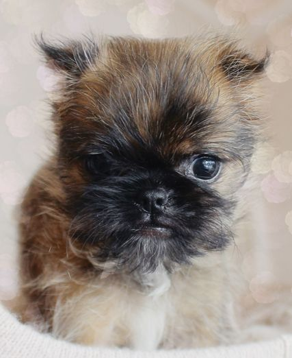 Brussels Griffon Puppy With Images Brussels Griffon