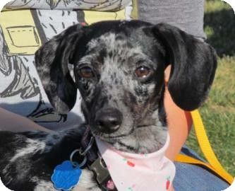Wenatchee Wa Dachshund Meet Snookie A Dog For Adoption