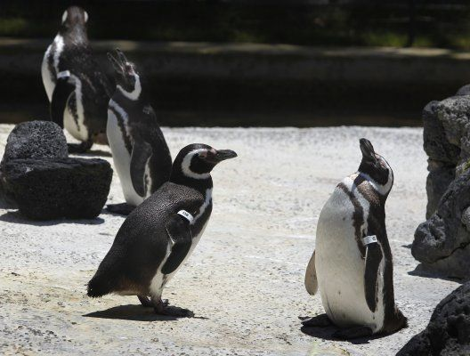 Magellanic penguin chicks hatch at S.F. Zoo | City Insider | an SFGate.com blog