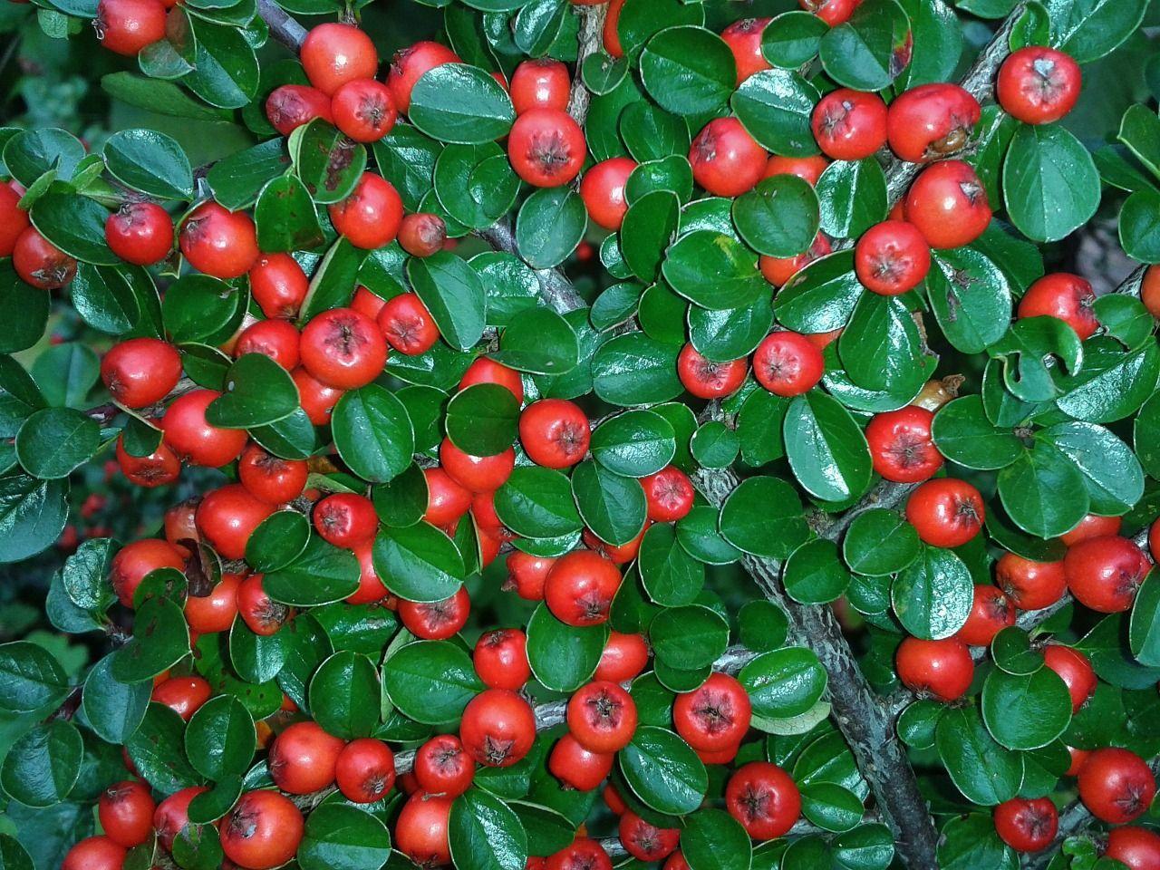 Piante Da Frutto Sempreverdi piante sempreverdi da cimitero, le varietà più adatte e