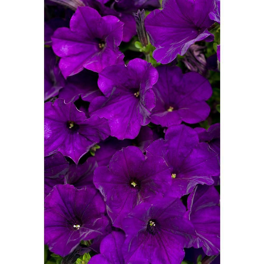 Save 5 45 15 Truck In 2020 Petunias Purple Petunias Purple Flowers