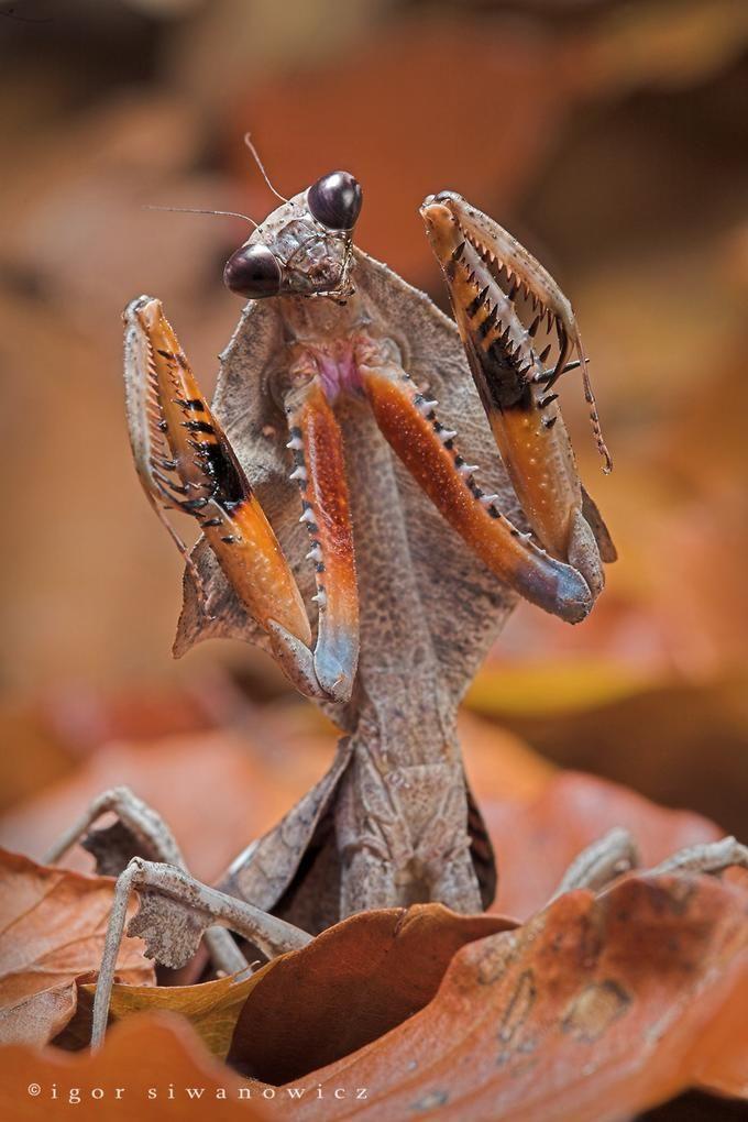 Insetti Mantide Foglia Deroplatys Desiccata Mantide Religiosa Del Sud Est Asiatico Insectos Raros Fotos De Insectos Animales Invertebrados
