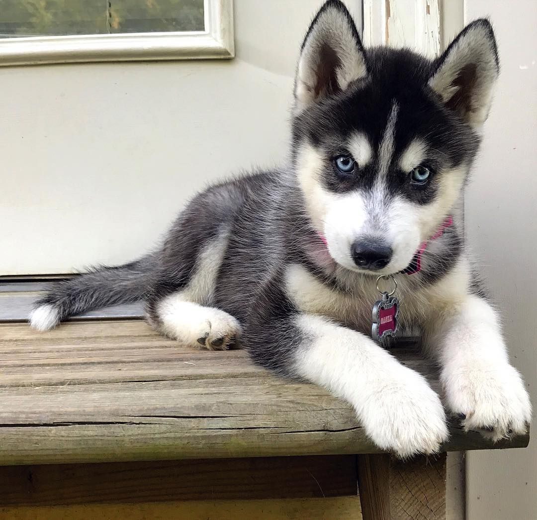 19 Secrets You Will Not Want To Know About Siberian Husky