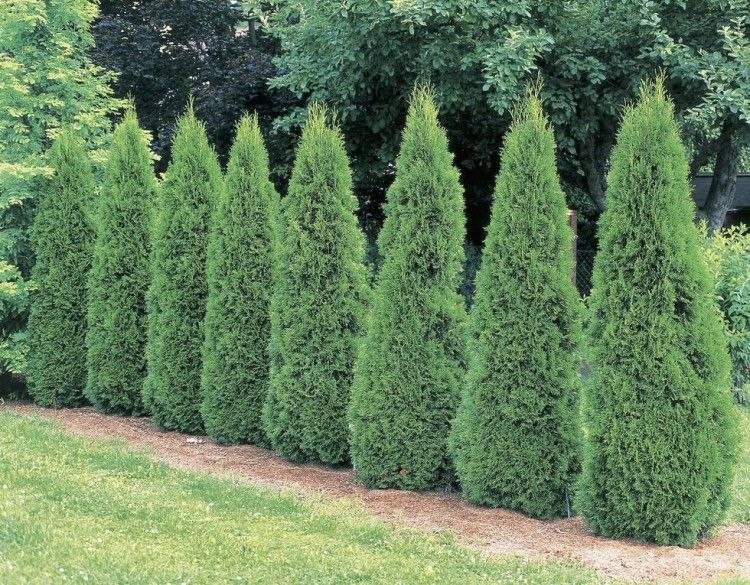 20 Ideas Of Fast Growing Shrubs And Bushes For The Privacy In Your Backyard Or Garden Landscaping Shrubs Emerald Green Arborvitae Growing Shrubs